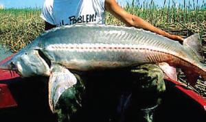 ساخت چرم از پوست ماهی - ماهیان خاویاری